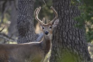 White tail deer have a great sense of smell